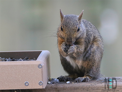 Eastern Gray squirrel at bird feeder eating nuts