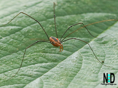 The Eastern Harvestmen are similar to and often misidentified as spiders. But they are not. They are Opiliones which have extremely long legs compared to their bodies and lack the venom glands of spiders.