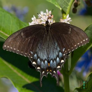 The female black swallowtail to me appears to be a lighter color black than the males. It isn't as vivid. The female doesn't have the first row of yellow markings on the wings as the male does.