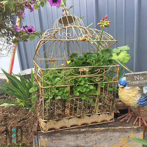 This bird cage is amazing. Planted overwintered geraniums in early spring and by midsummer the entire bird cage is flowing with greens and flowers.