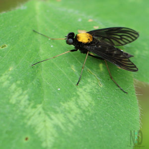 Golden Backed Snipe Fly - Black fly with a bright yellow colored back.  The Body of the fly has an almost silver or white shimmering metallic striped look to it. Insects of Wisconsin