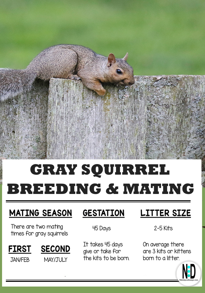 The gray squirrel will mate twice a year. Mating occurs once in late winter during the months of January and February. A second breeding occurs in late Spring or Early Summer during the months of May through July.