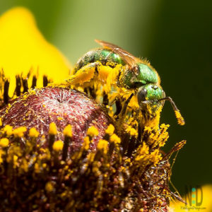 All species of sweat bees have a metallic green or blue sheen to them.  The bees are ground dwellers nesters. Why are they called sweat bees? Bees in this family are attracted to human sweat, and they use the salt from the sweat for nutrition. Only the females can sting.