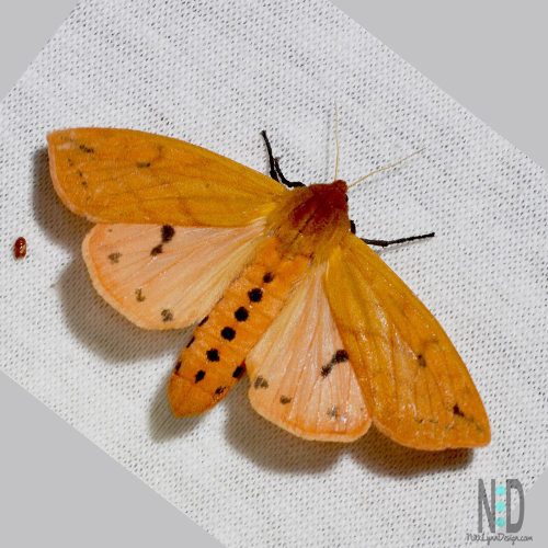 The Isabella Tiger Moth is an orange moth with black dots on the body.  The wings also have black on the bottom edge and two black spots mid wing.