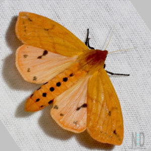 Isabella Tiger Moth - an orange colored moth with black dots on its body.  The caterpillar is the wooly bear caterpillar.  Insects of Wisconsin