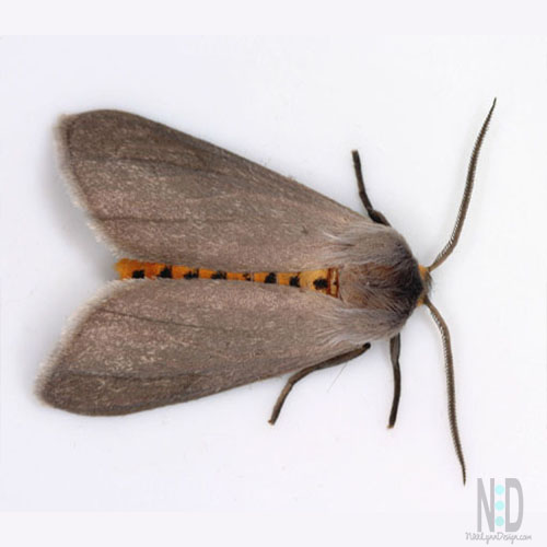 Brown or tan colored moth with orange body and black stripes that lays eggs on milkweed plants.