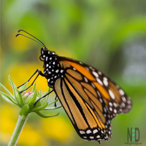 Lifecycle of the Monarch Butterfly