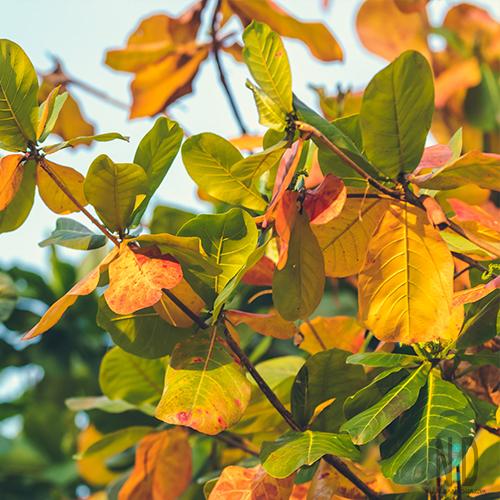 oak leaves that the woolly bear caterpillar eats.