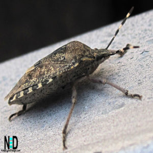 Stink Bug - Most are an olive green and black, although some are brightly colored but all are shield shaped insects.