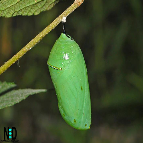 Pupa Chrysalis of the Monarch Butterfly