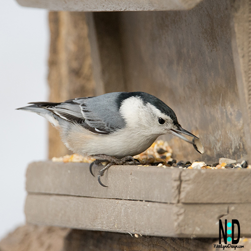 The white-breasted nuthatches are common feeder birds. You can attract them to your feeders and in your yard by customizing your feeders and yards.
