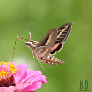 White Lined Sphinx Moth that is brown, tan and pink.  It is often mistaken for a hummingbird.