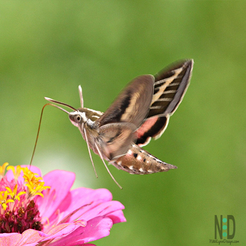 Beautiful dark brown hawk moth with a tan, white and pink coloring.