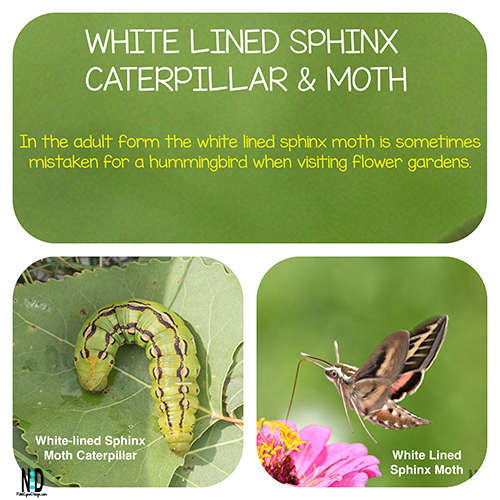 This White-lined Sphinx Moth CaterpillarThe white lined sphinx caterpillar is a green white and brown caterpillar, it grows up to be the white lined sphinx moth which most people mistake for a hummingbird.