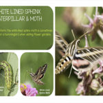 White-lined Sphinx Moth Caterpillar