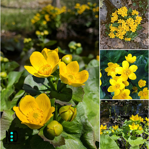 Marsh Marigold is a plant with yellow flowers is found throughout the Northern Hemisphere. In the Midwest, it flowers between April and August. In other additional areas, the plant can bloom into August.