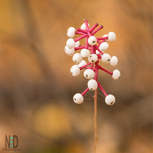 White Baneberry Dolls Eyes Wildflower