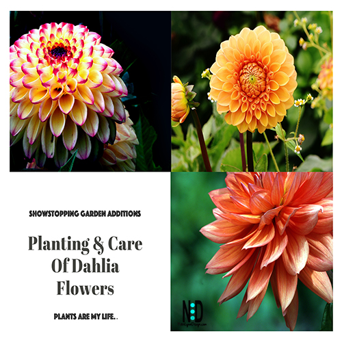 Planting and Care of Dahila Flowers