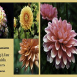 Planting and Care of Dahlia Flowers