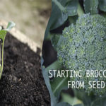 Starting Broccoli From Seed