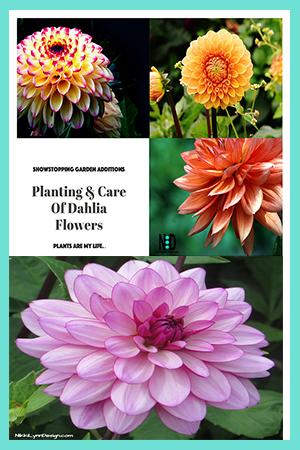 Planting & Care of Dahlia Flowers