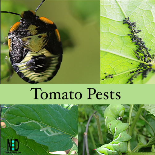 Tomato pests. A green worm called the tomato hornworm,. A black orange and white bug called Green Stink Bug and leaf minor damage done to vegatable leaf.