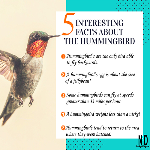 Picture of a hummingbird in flight with 5 interesting facts from text.