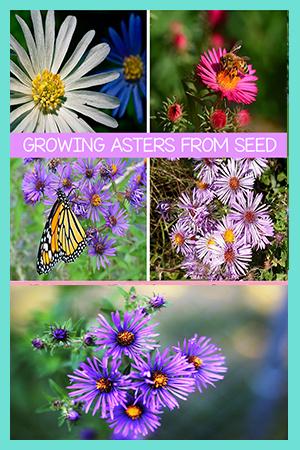 Growing Aster Flowers From Seed