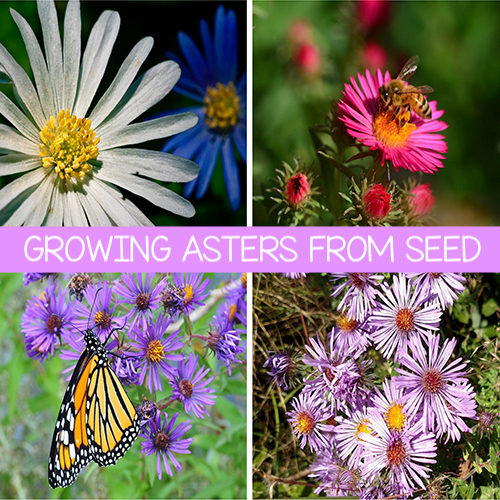 White, pink and purple aster garden flower and a Monarch butterfly pollinating the flowers