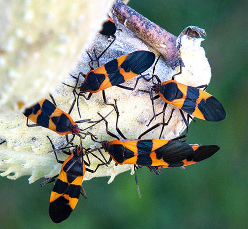 Orange and Black Beetle called Milkweed Bug on Milkweed Seed Pod