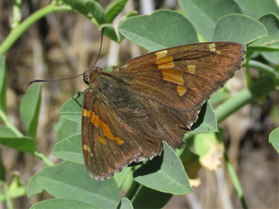 Silver-spotted Skipper with its wings open.