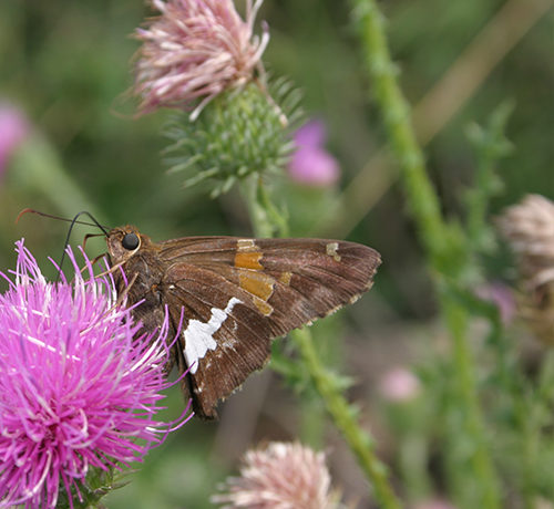 The silver-spotted skipper is a brown winged skipper with yellowish-orange square and rectangular patches on its wings. The body of this skipper is dark brown and hairy.