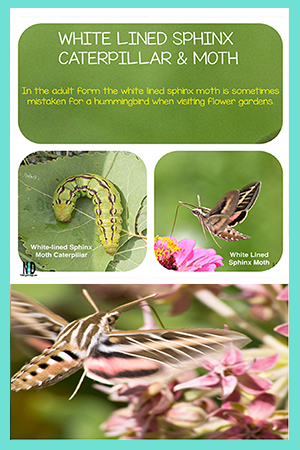 White-lined Sphinx Moth and Caterpillar