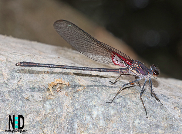 The American Rubyspot (Hetaerina americana) is found June through the first week of September. You will notice the bright red upper body of this damselfly, striking red eyes and black webbing in the clear wings.  The tail of the damselfly is striped in a black and tan pattern..