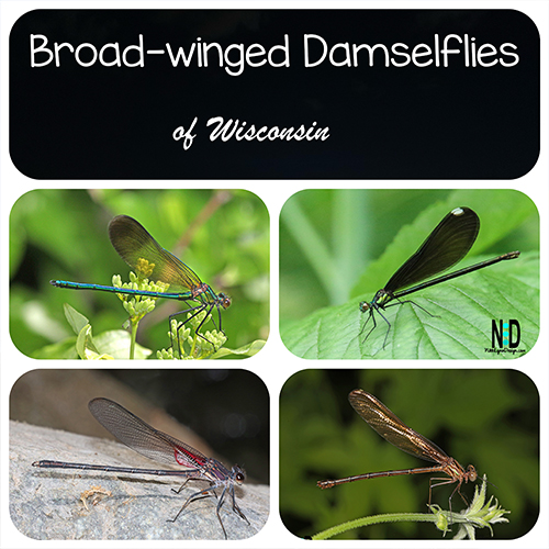 The four species in the broad-winged damselflies in Wisconsin.