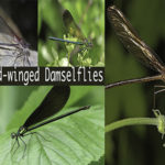 Broad-winged Damselflies