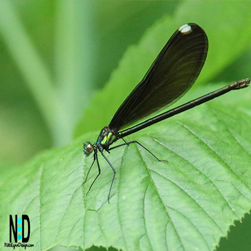 Broad-winged Damsels in Wisconsin