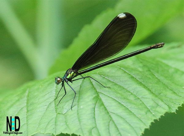 The four species in the broad-winged damselflies in Wisconsin.