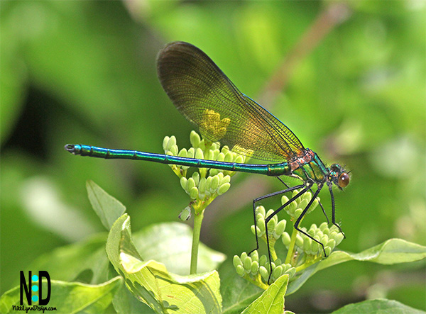 The River Jewelwing (Calopteryx aequabilis) is found during the months of June and July.