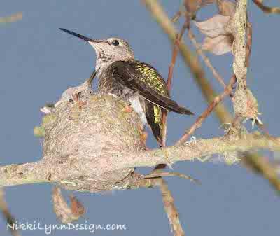 Annas Hummingbird Sitting On A Nest