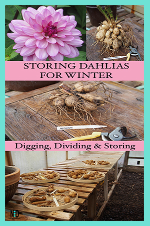 Info graphic with a pink dahlia flower and pictures showing how to dig up dahlia and store for winter.