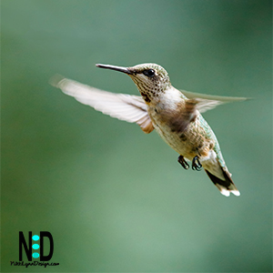 Ruby Red Thraoted Hummingbird in Flight