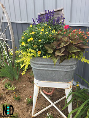 A washtub planted with yellow daisies,trailing vines,coleus and pansies.