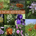 Flowers Deer Do Not Eat